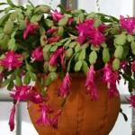 Craciunita – sau cactusul Craciunului