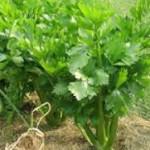 Beneficiile miraculoase a consumului de telina