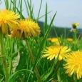 Păpădia este una din cele mai puternice plante antitoxice şi depurative de la noi. Frunzele, tulpinile şi rădăcinile sale ajută la mobilizarea şi eliminarea toxinelor din organizm, intensifică tranzitul […]