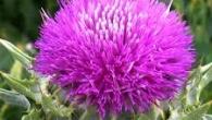 Armurariul (Silybum marianum) conţine substanţe cu o extraordinară acţiune benefică asupra ficatului. În prezent, armurariul este unul dintre cele mai puternice remedii naturale împotriva afecţiunilor hepatice. Armurariul şi boala canceroasă […]