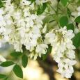 Încă din primele zile ale lunii mai, și până spre sfârșitul lunii iunie, multe regiuni se îmbibă de un parfum minunat și dulce de salcâm. Este o adevărată splendoare […]